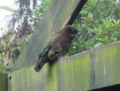 kea v rainbow springs